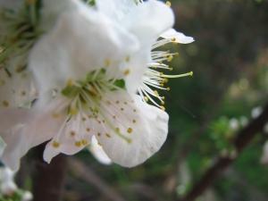 A yellow plum blossom.