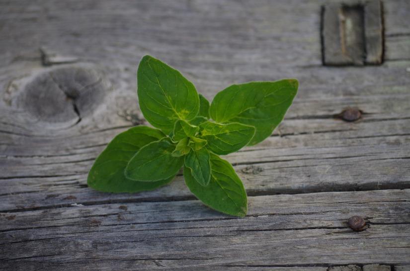 herb-972453_1920